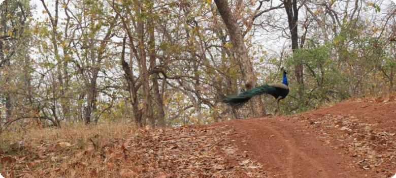 Welcoming majestic peacock, Nagzira Tiger Reserve