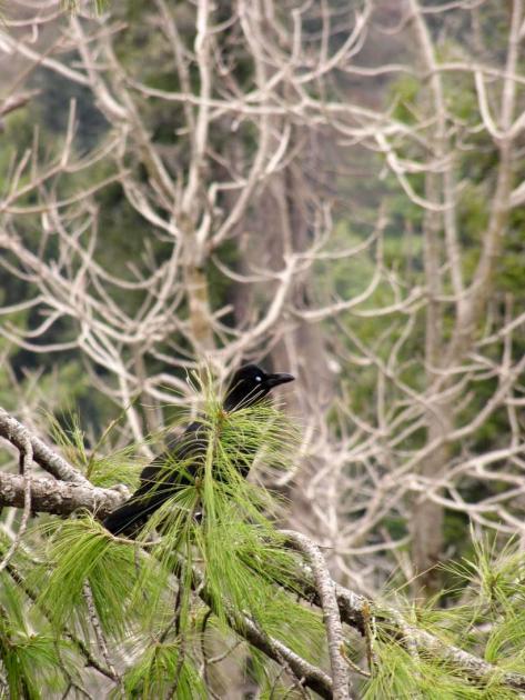 Dark colored mountain bird