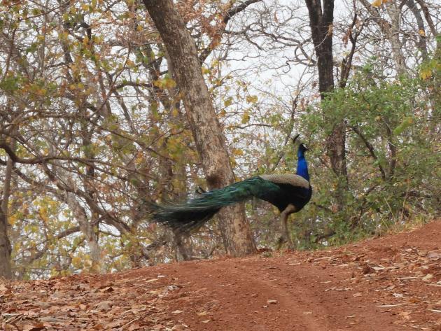 Peacock dancing away, Nagzira, Maharashtra
