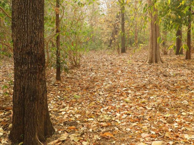 Walking among the fallen leaves, Nagzira forest