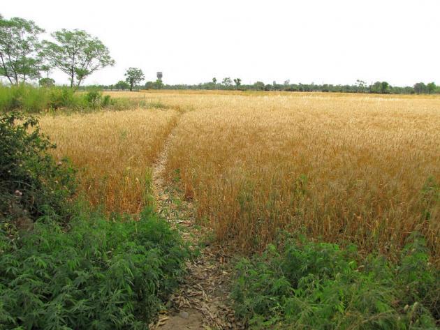 Golden crops