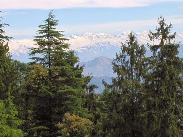 Glaring white snow peaks through tall green trees