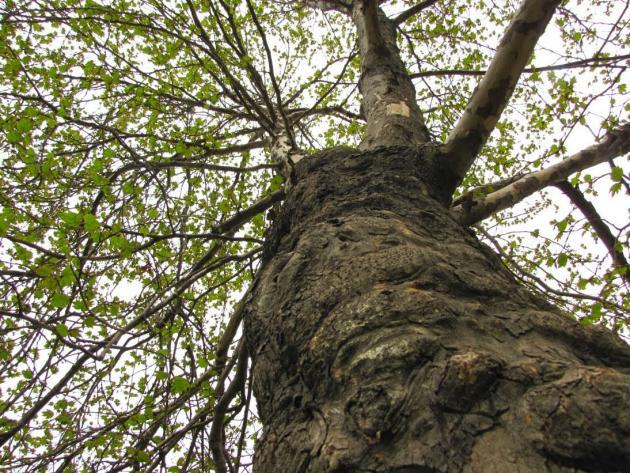 Top of Baobab
