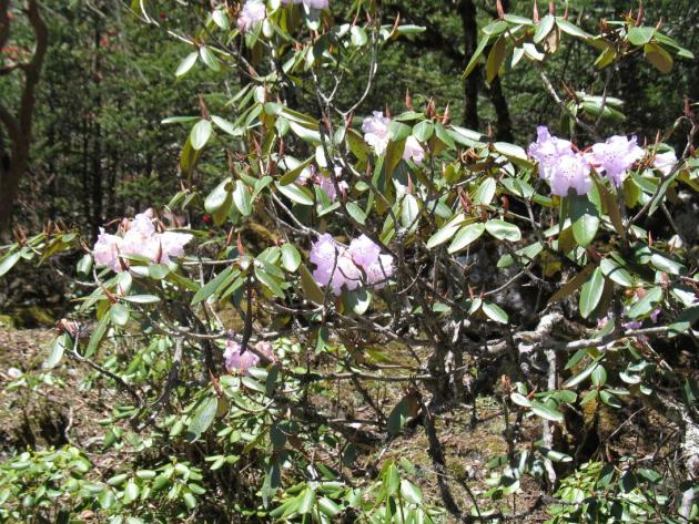 Rhododendron shrubs