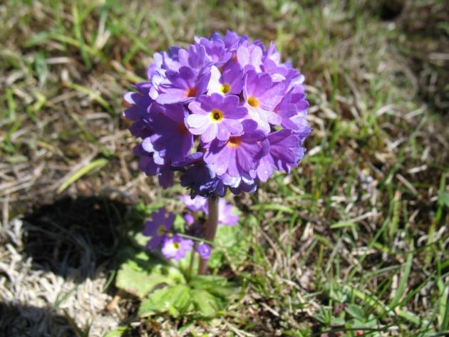 Primulas in Yumthang valley
