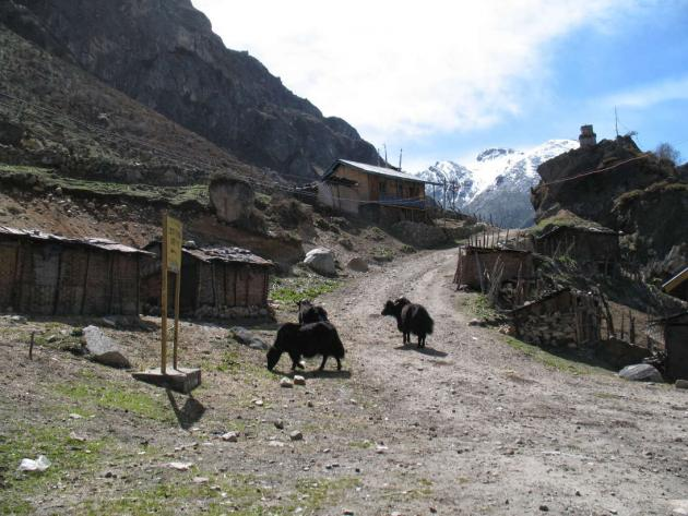 Yaks grazing near Thangu